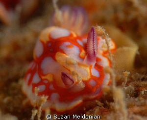 Chromadoris binza laying her eggs.. by Suzan Meldonian 